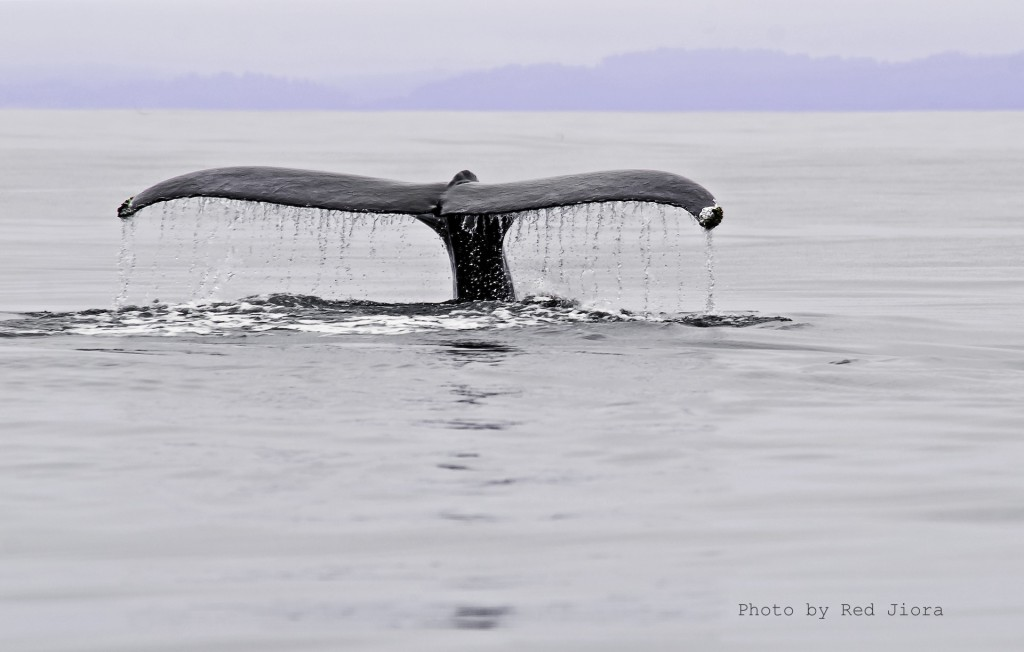 Whale in Trinidad Bay, California by Red Jiora